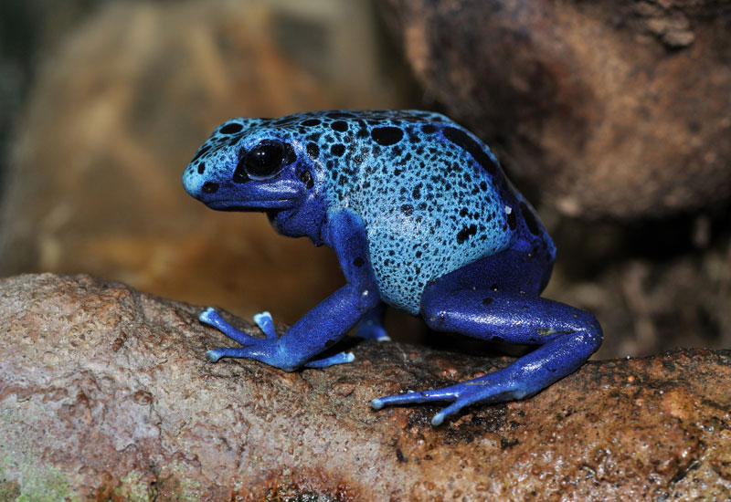 Photo of the Day: The Blue Poison Dart Frog
