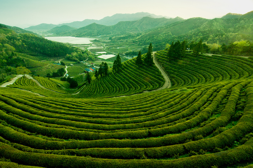 Photo of the Day: The Tea Fields of Boseong