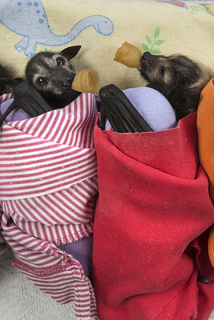 It's Halloween, So Here Are Some Unbelievably Cute Pictures Of Baby Bats