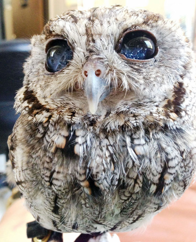 Meet Zeus, a blind Western Screech Owl named after the Greek god of sky and thunder.