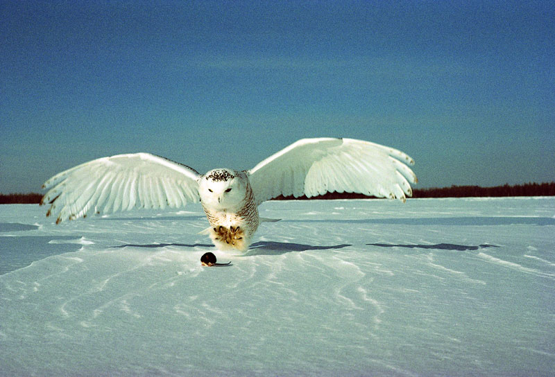 white snowy owl about to catch a mouse (3)