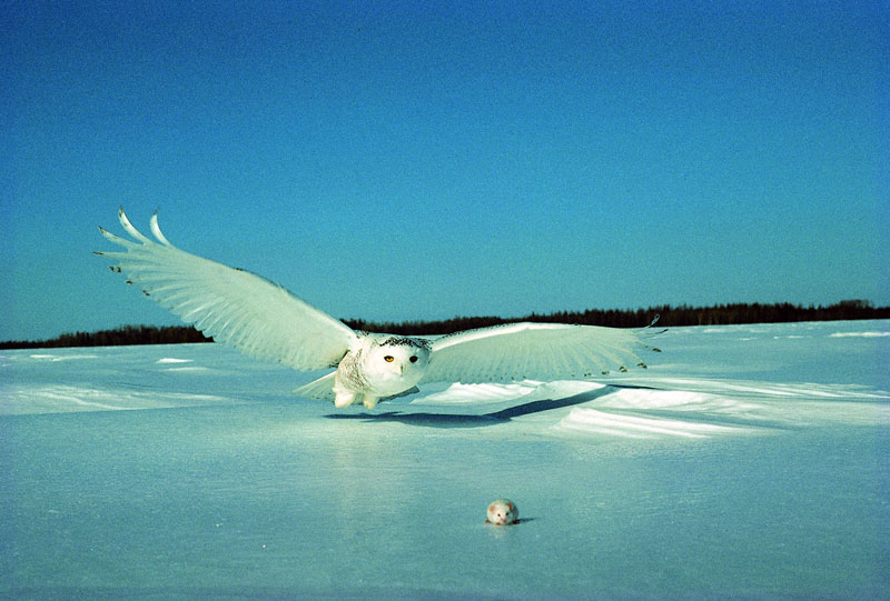 white snowy owl about to catch a mouse (1)