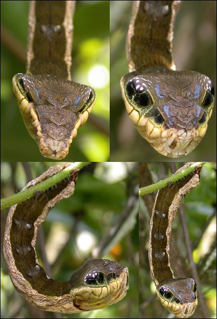 caterpillar that looks like a snake elephant hawk moth (1)