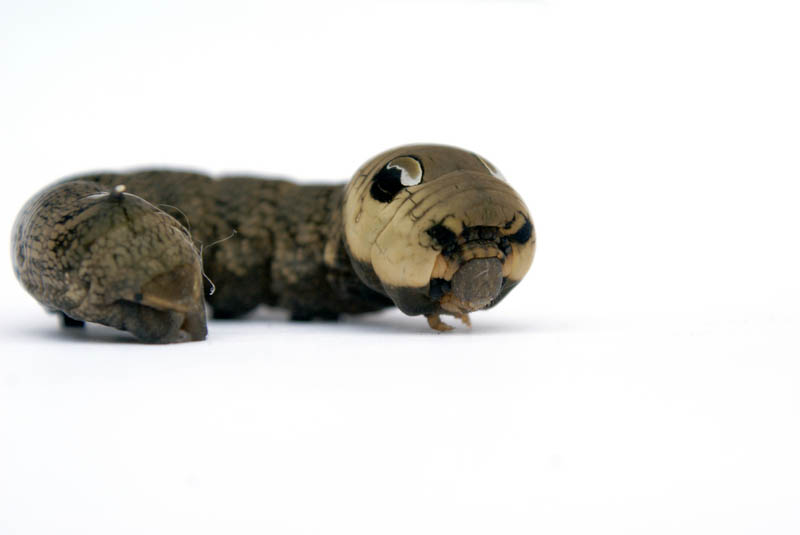 caterpillar that looks like a snake elephant hawk moth 8
