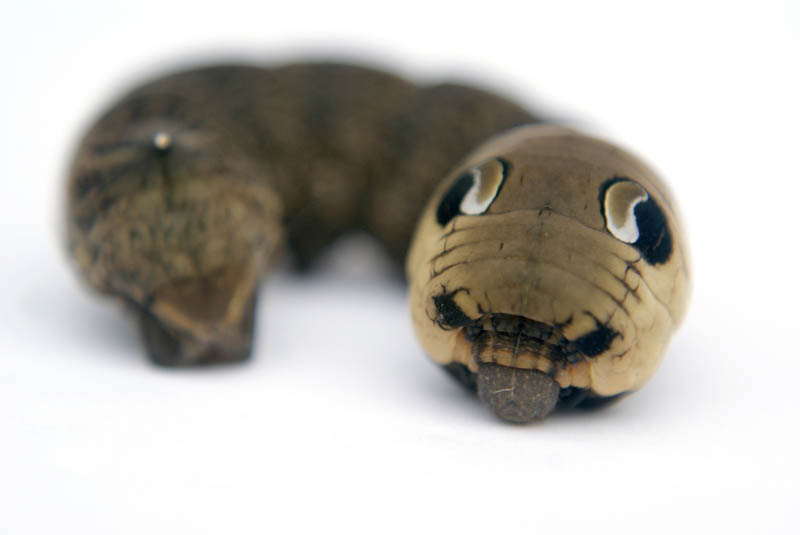 caterpillar that looks like a snake elephant hawk moth 5