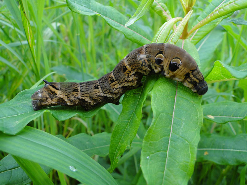 caterpillar that looks like a snake elephant hawk moth (3)