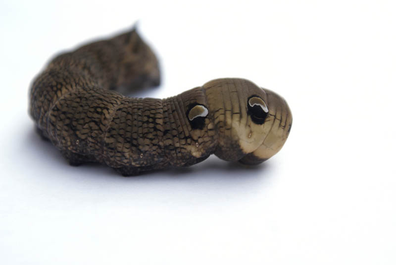 caterpillar that looks like a snake elephant hawk moth 6