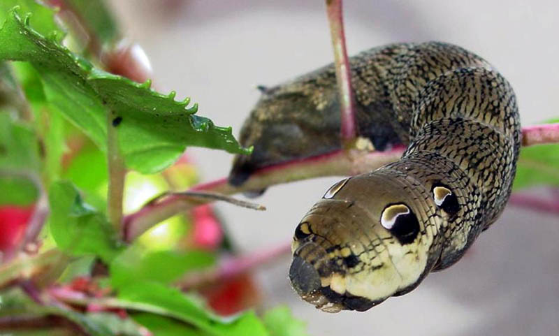 caterpillar that looks like a snake elephant hawk moth (4)