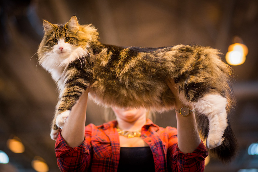 Here Are Photos Of The Fanciest Felines From The 2015 Supreme Cat Show