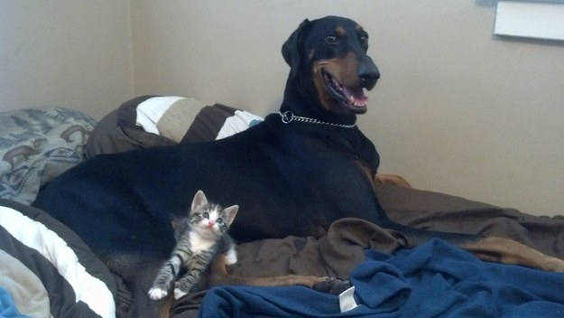 This dog who is super stoked about his new kitten.