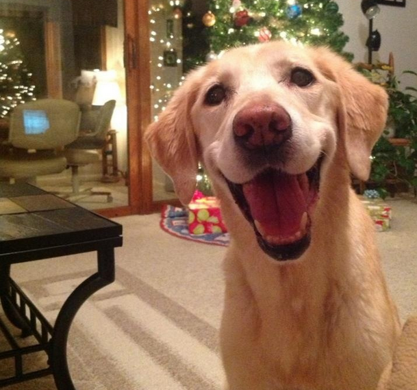 This dog who's really stoked it's finally Christmas.