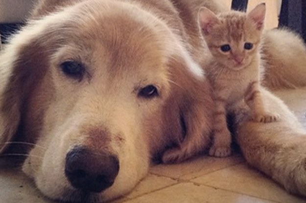 This Golden Retriever And Rescued Kitten Will Sweeten Up Your Instagram