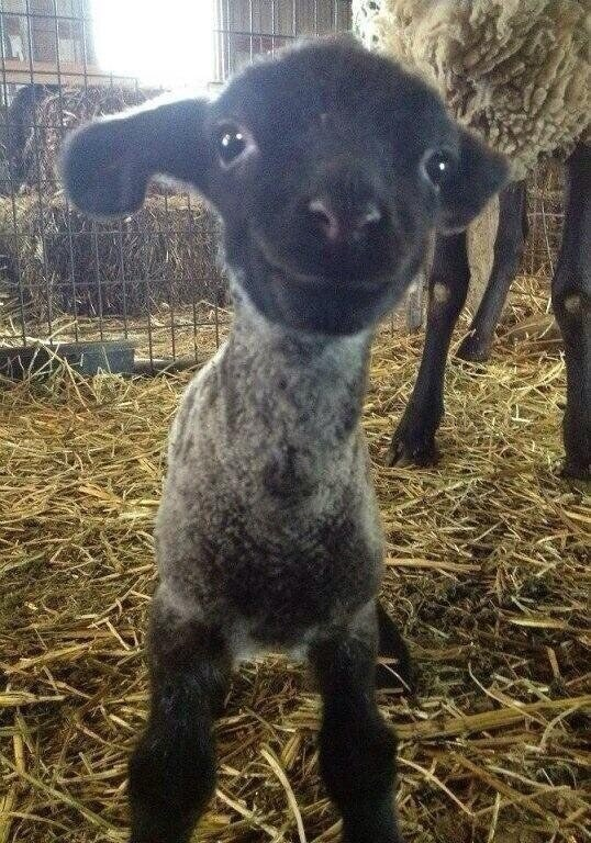 This lamb who can't wait to go out and see the world.