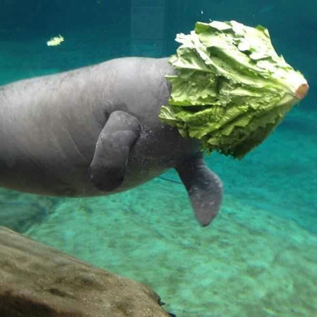 This manatee who likes to lunch on-the-go.