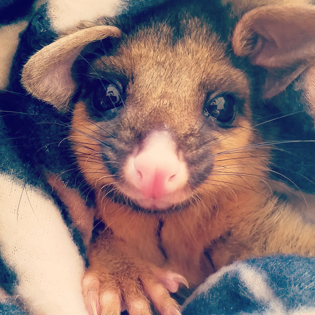 This orphaned Brushtail Possum with a cutie little smile.