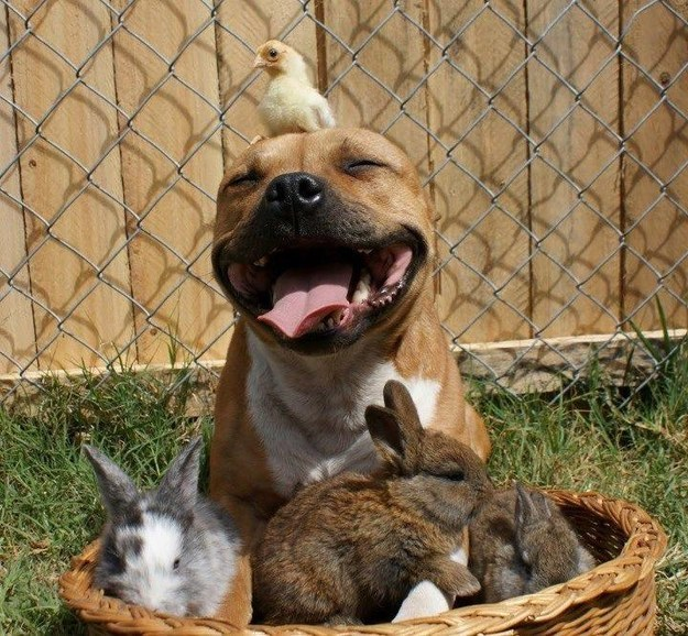 This pit bull being reunited with his friends.