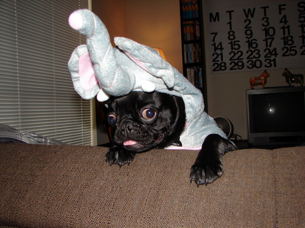 51 Pugs Who Just Want Halloween To Be Over