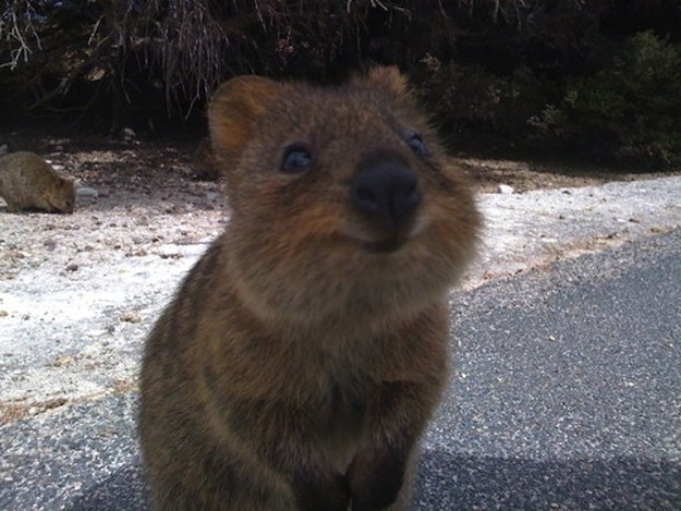 This quokka just wants to say hi.