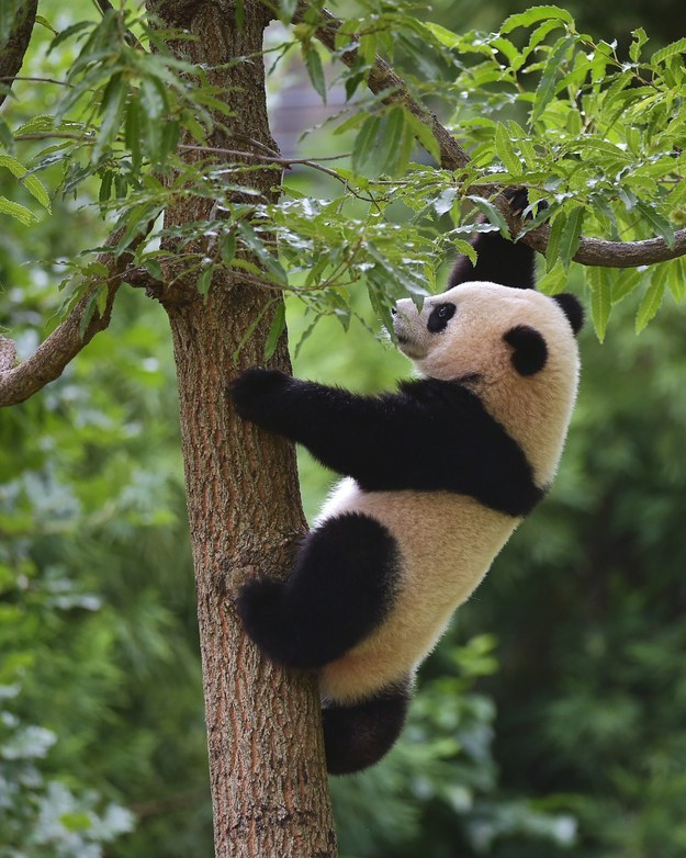 Bao Bao The Panda Cub Spent The Night In A Tree After Getting Zapped By A Hot Wire