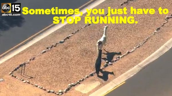 9 Invaluable Life Lessons We All Learned From The Llama Chase