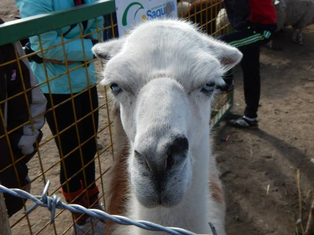 And this llama who is 100% done with today: