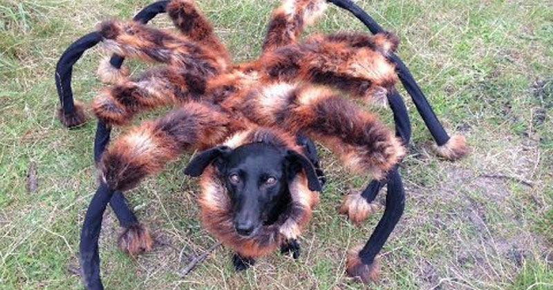 Dog Wears Spider Costume at Night, Scares the Crap Out of Everyone