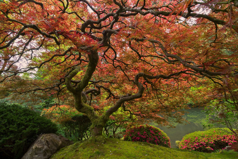 japanese maple portland oregon