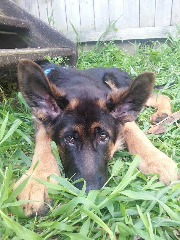 21 Puppies Who Haven't Grown Into Their Ears
