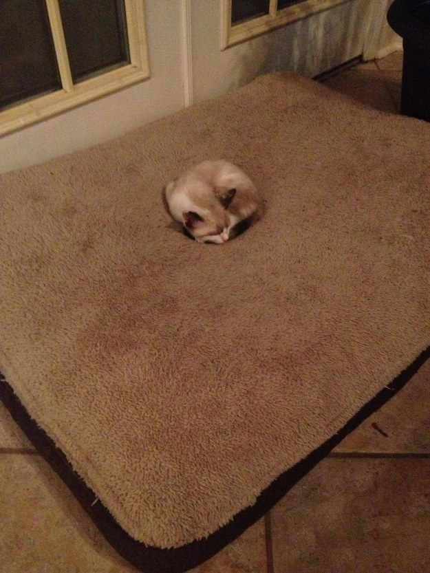 """""""I know this is the dog's bed but I am adorable so you will let me nap here."""""""