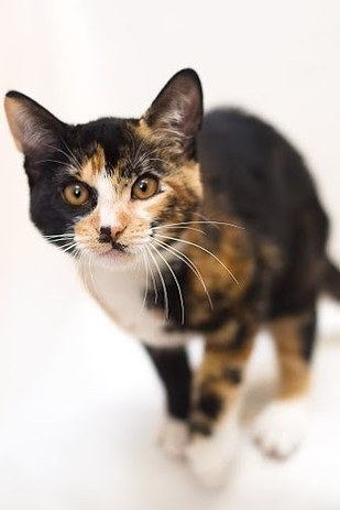 Sherman The Calico Kitten Is Basically One In A Million