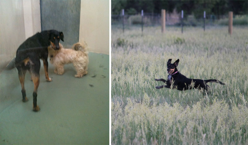 before and after pics of adopted dogs (3)