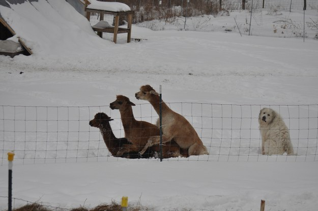 These llamas who don't feel like including the dog: