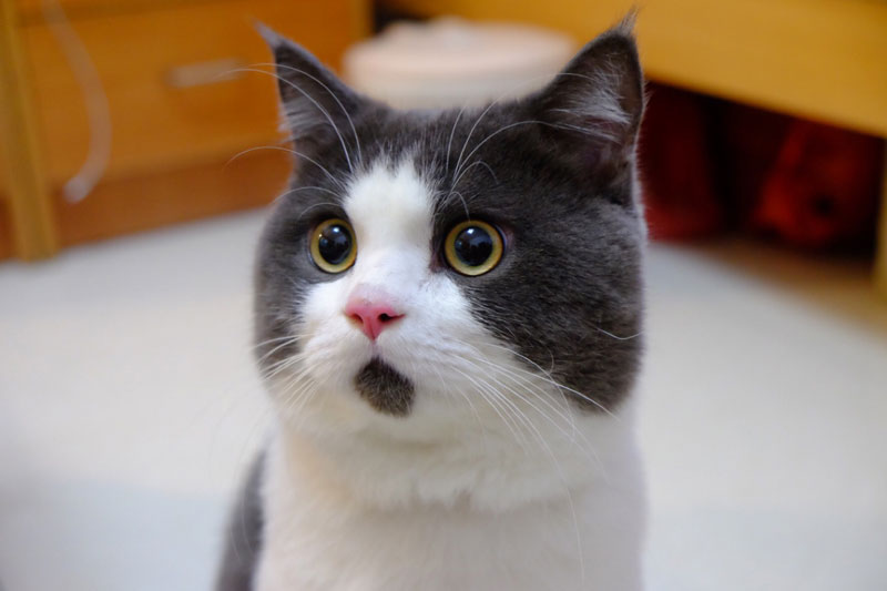 This Cat's Chin Fur Makes Him Look Forever Surprised