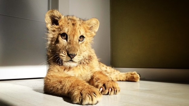 This is Magnus, a lion cub born in captivity who was fed nothing but yogurt and bread to stunt his growth at a Spanish circus.