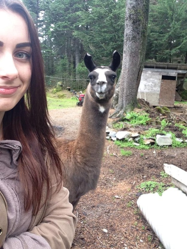 This llama who doesn't care about your selfie: