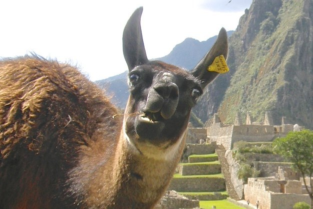This llama who doesn't care about your stupid picture: