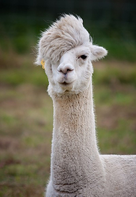 This llama who happens to be going through an emo phase: