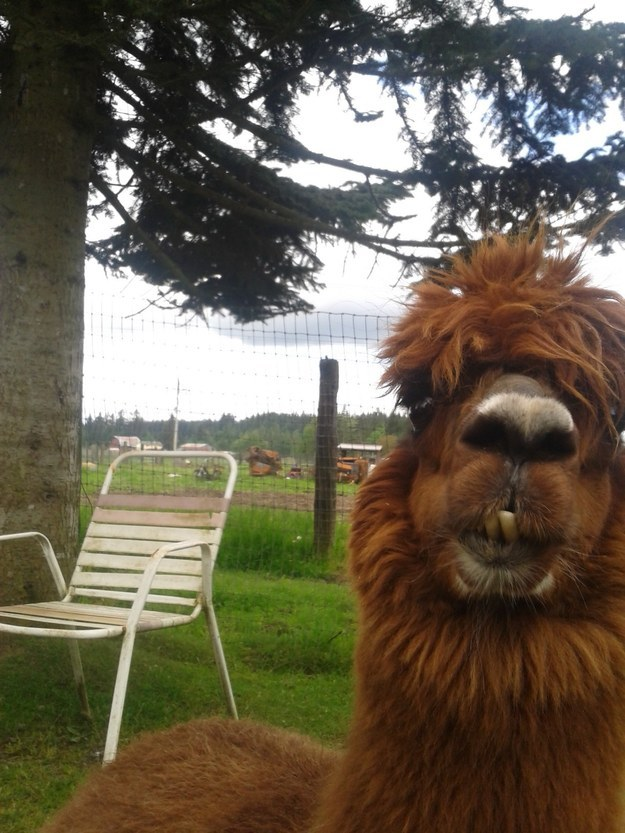 This llama who has NO time for your shit: