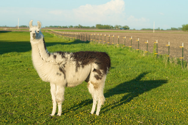 This llama who knows it is the REAL view: