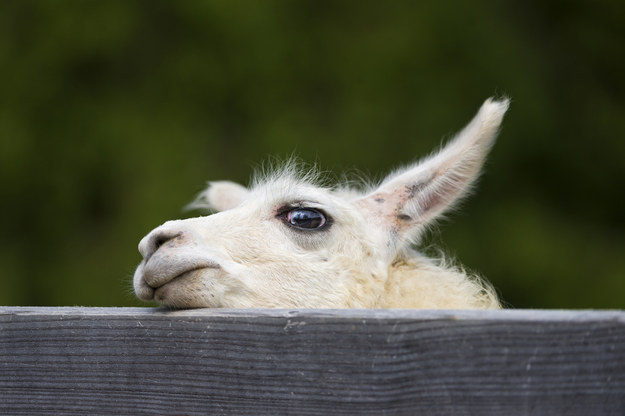 15 Llamas Who Just Don't Give A Damn