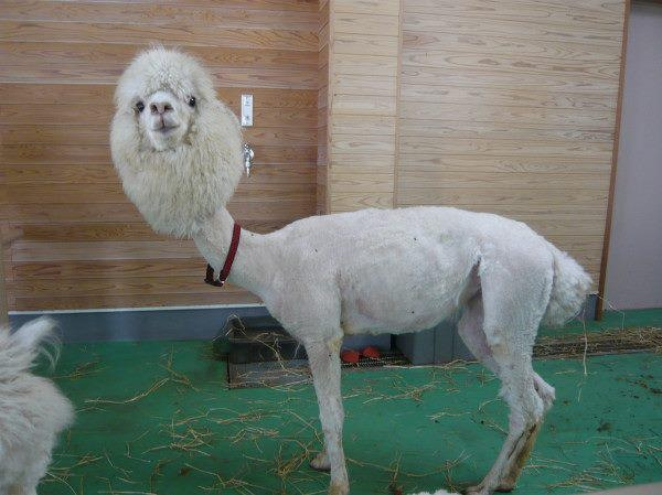 This llama who rocks whatever hairstyle it wants: