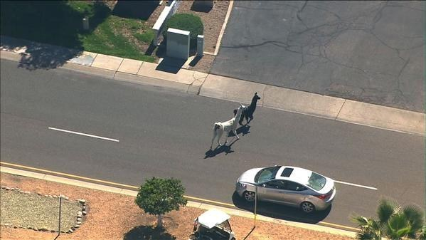 The 18 Most Historically Important Moments From The Great Llama Chase Of 2015