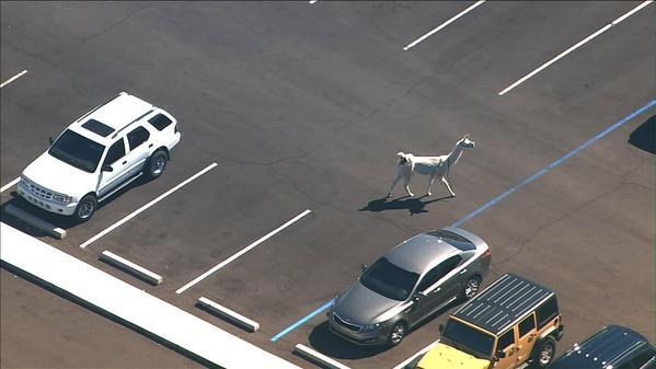 When white llama was looking for a parking spot: