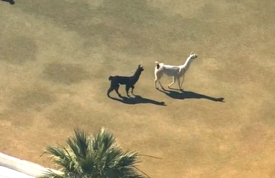 Which Runaway Llama Are You