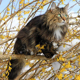 18 Rare Cat Breeds From Around The World You've Never Heard Of