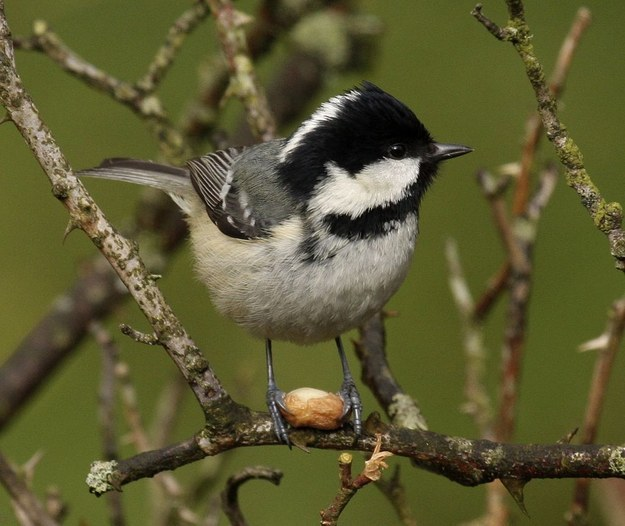 And look! A cutie coal tit.