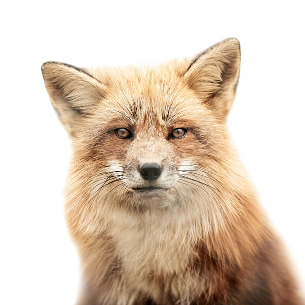 Animal Portraits on Stark White Backgrounds by Morten Koldby