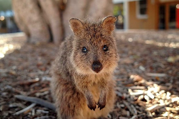 Anyway, we think it is high time that the quokka was elevated to its natural place as WA's State Emblem*.