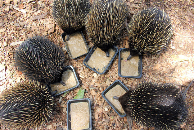 These Echidnas Got A Tasty New Meal And They Love It
