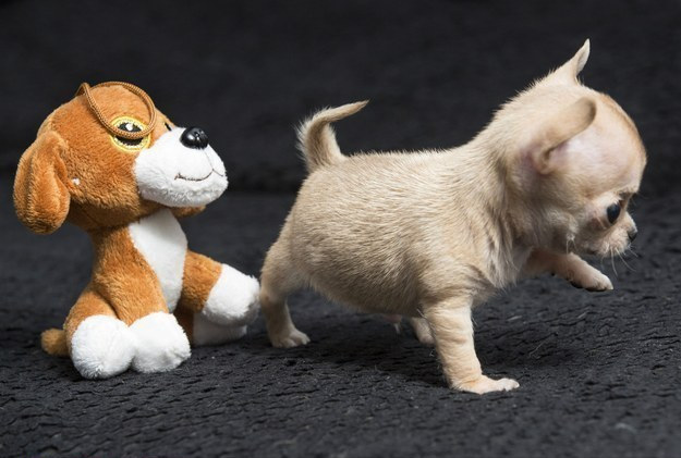 He is believed to be the world's smallest Chihuahua: at 12 weeks old, he weighs 300g and is just 7cm high.